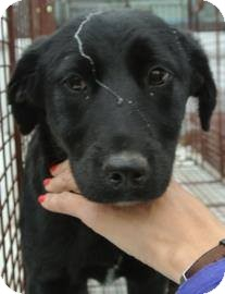 Flat-Coated Retriever Mix Puppy for adoption in Laingsburg, Michigan - Jessica