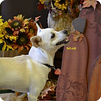 Adopt A Pet :: NOAH - Higley, AZ