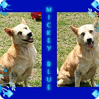 Adopt A Pet :: Mickey Blue - Tampa, FL