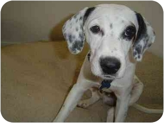 Beagle/Jack Russell Terrier Mix Puppy for adoption in Mesa, Arizona - Spanky