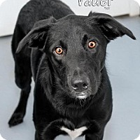 Labrador Retriever/Border Collie Mix Dog for adoption in Fort Mill, South Carolina - Vader