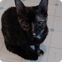 Domestic Shorthair Kitten for adoption in Morganton, North Carolina - Betsy
