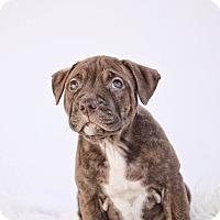 Adopt A Pet :: Bella Rose - Adoption Pending - West Allis, WI