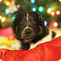 Adopt A Pet :: Plato - Waldorf, MD