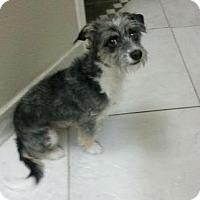 Adopt A Pet :: Toby 2 - Las Vegas, NV