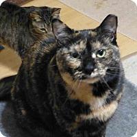 Adopt A Pet :: Socks - Gaithersburg, MD