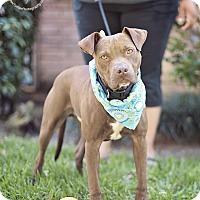 Adopt A Pet :: Bruno - sweeter than honey - Seattle, WA