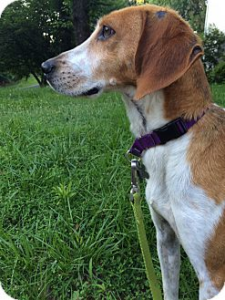 Hound (Unknown Type) Mix Dog for adoption in Richmond, Virginia - Paige
