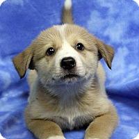 Adopt A Pet :: FERGUS - Westminster, CO