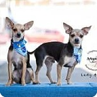 Adopt A Pet :: Lady - Shawnee Mission, KS