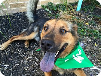 Shepherd (Unknown Type)/Collie Mix Dog for adoption in Wilmington, Delaware - Rex
