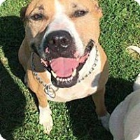 Pit Bull Terrier Mix Dog for adoption in Napoleon, Ohio - Vegas