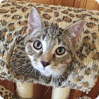 Domestic Shorthair Kitten for adoption in Davison, Michigan - Marley T