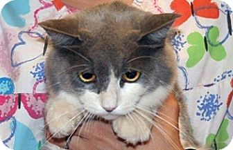 Domestic Shorthair Cat for adoption in Wildomar, California - Mia