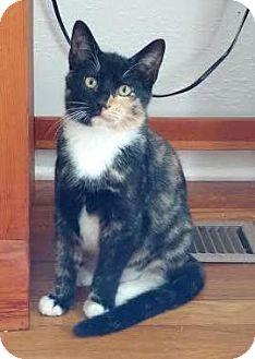 Domestic Shorthair Kitten for adoption in Colorado Springs, Colorado - Telda
