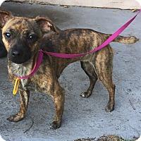 Adopt A Pet :: Holley - Palm Harbor, FL
