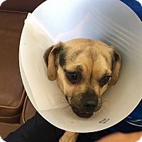 Adopt A Pet :: Elijah - Las Vegas, NV