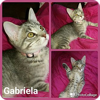 Domestic Shorthair Kitten for adoption in Arlington/Ft Worth, Texas - Gabriela