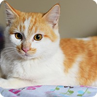 Domestic Shorthair Cat for adoption in Xenia, Ohio - Toby