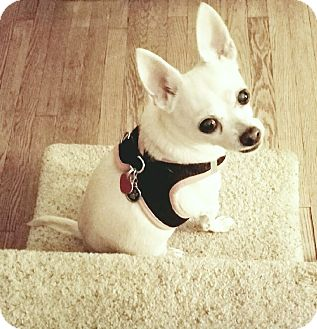 Chihuahua Dog for adoption in New York, New York - Chibow
