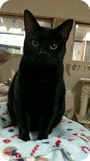 Domestic Shorthair Cat for adoption in Saginaw, Michigan - Blackie