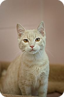 Domestic Shorthair Cat for adoption in Carencro, Louisiana - Tigger