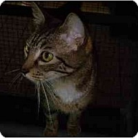 Domestic Shorthair Cat for adoption in Orlando, Florida - Stella