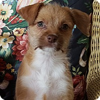 Adopt A Pet :: Whitney - Puppy! - Bend, OR
