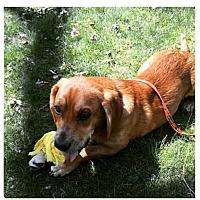 Adopt A Pet :: Wp litter - Watson - ADOPTION PENDING - Livonia, MI