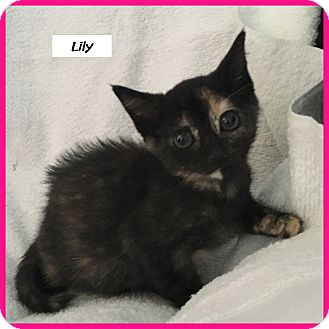 Domestic Shorthair Cat for adoption in Miami, Florida - Lily