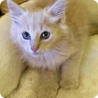 Domestic Longhair Kitten for adoption in Greensburg, Pennsylvania - Oliver