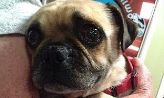 Pug Dog for adoption in Gardena, California - Bert