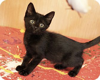 Domestic Mediumhair Kitten for adoption in Mayflower, Arkansas - MIdnight