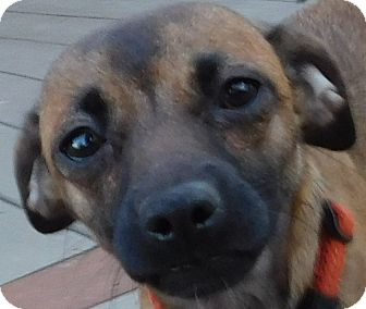 Chihuahua/Pug Mix Dog for adoption in MINNEAPOLIS, Kansas - Buttercup