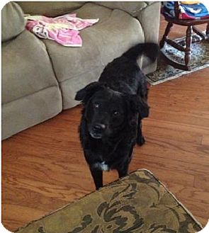 Border Collie Mix Dog for adoption in ROSENBERG, Texas - Annie
