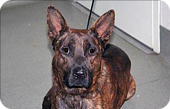 Shepherd (Unknown Type) Mix Dog for adoption in Wildomar, California - Tilly