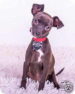 Chihuahua Puppy for adoption in Colorado Springs, Colorado - Miss Pickle