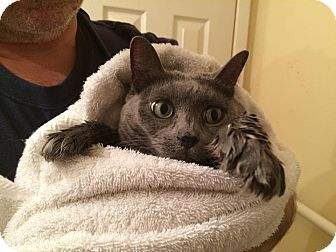 Russian Blue Cat for adoption in THORNHILL, Ontario - Emily