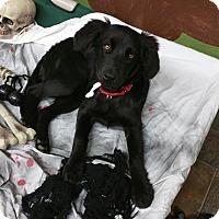 Adopt A Pet :: Raven - Lisbon, OH