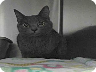 Russian Blue Cat for adoption in Pearland, Texas - AVALON