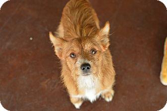 Cairn Terrier/Norfolk Terrier Mix Dog for adoption in San Antonio, Texas - Jelly Bean
