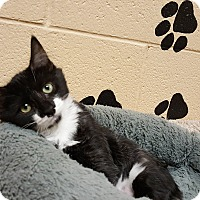 Domestic Shorthair Kitten for adoption in Smithfield, North Carolina - Zee