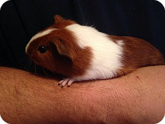 Guinea Pig for adoption in South Bend, Indiana - Max -  6 weeks old