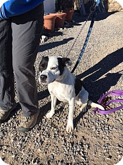 Border Collie/Australian Kelpie Mix Dog for adoption in Cedaredge, Colorado - Dixie