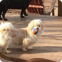 Pekingese Dog for adoption in Parker Ford, Pennsylvania - Tobby  - FOSTER NEEDED