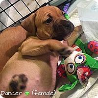 Adopt A Pet :: Dancer - Ronkonkoma, NY