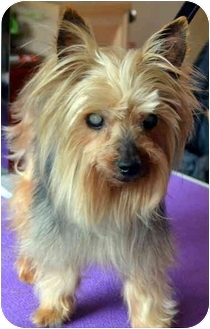 Silkie Adopted Dog Greensboro Nc Silky Terrier