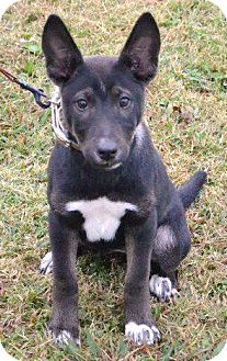 German Shepherd Dog Mix Puppy for adoption in Greeneville, Tennessee - Tia