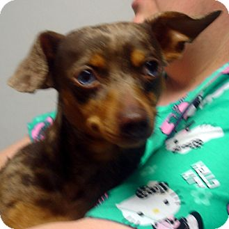 Dachshund/Chihuahua Mix Dog for adoption in baltimore, Maryland - Camo