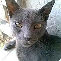 Adopt A Pet :: Gizmo - New Port Richey, FL